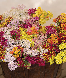 Achillea, Fordhook Mix, , large