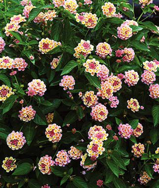 Lantana, Landmark Peach Sunrise, , large