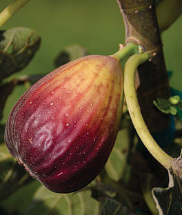 Fig, Texas Blue Giant, , large