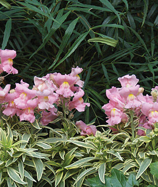 Snapdragon, Snap Daddy Pink, , large