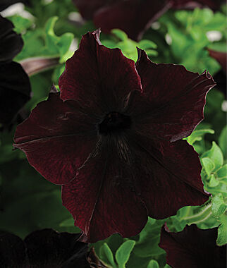 Petunia, Sophistica Blackberry Hybrid 6 Plants, Annuals, Annual Flowers, Annual Flower Plants, Flower Plants, Flowering Annuals, Bedding Plants