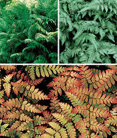 Fern Collection, , large