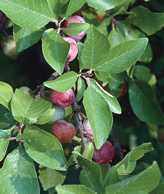 Prunus maritima, , large