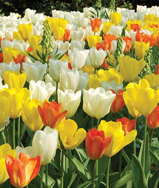 Tulip, Fosteriana Mix, , large