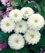 Zinnia, White Wedding, , large