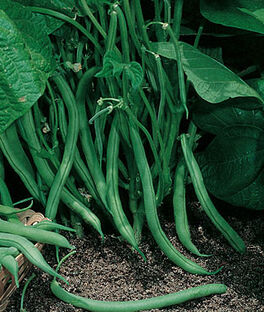Bean Garden, Blue Lake 274 Bush Organic, , large