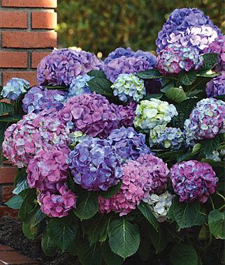 hydrangea plants  grow nikko blue, shade garden perennials at, Beautiful flower