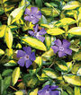 Vinca, Illumination, , large