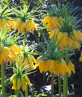 Fritillaria, Crown Imperial, , large