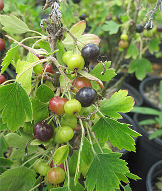Currant, Consort Black, , large