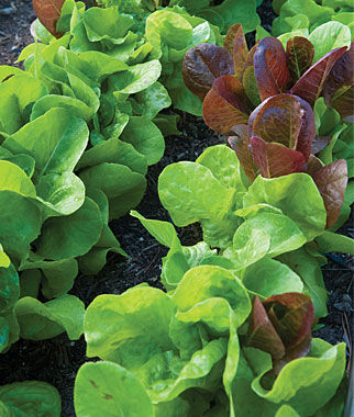Lettuce, All Season Butterhead Mix, , large