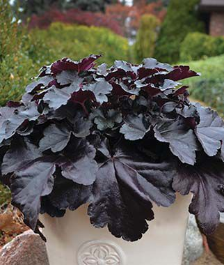 Heuchera, Black Pearl , , large