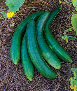 Cucumber, Summer Dance Hybrid, , large
