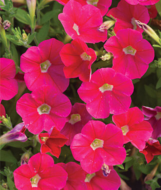 Petunia, Shock Wave Coral Crush 6 Plants, Annuals, Annual Flowers, Annual Flower Plants, Flower Plants, Flowering Annuals, Bedding Plants