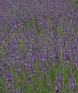 Lavender, Phenomenal, , large