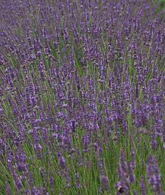 Lavender, Phenomenal PPAF, , large