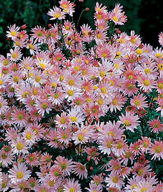 Chrysanthemum, Sheffield Pink, , large