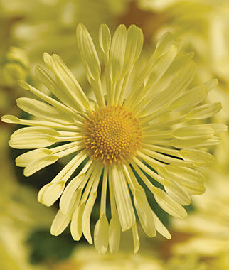 Garden Mum, Mammoth Daisy Quill Yellow, , large