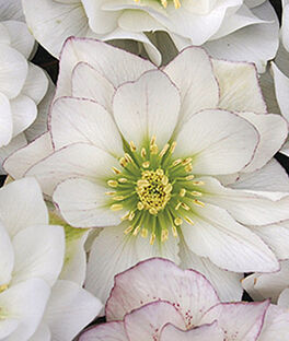 Helleborus, Sparkling Diamond, , large