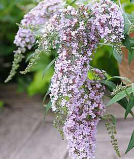 Buddleia, Wisteria Lane PPAF , , large