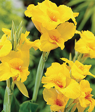 Canna, Yellow King Humbert, , large