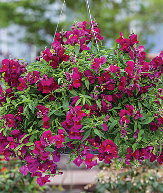 Snapdragon, Candy Showers Deep Purple 3 Plants, Annuals, Annual Flowers, Annual Flower Plants, Flower Plants, Flowering Annuals, Bedding Plants