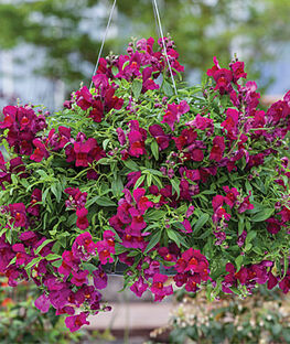Snapdragon, Candy Showers Deep Purple, , large