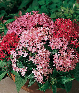 Pentas, Butterfly Sparkles Mix, , large