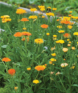 Calendula, Pacific Beauty Mix Organic, , large