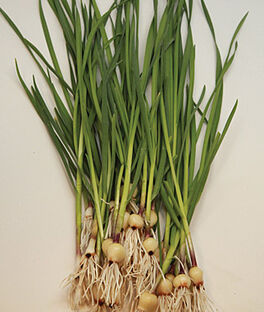 Garlic, Garlikins, , large