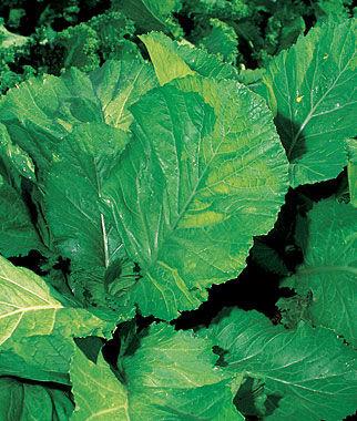 Florida Broad Leaf Mustard Seeds And Plants Vegetable