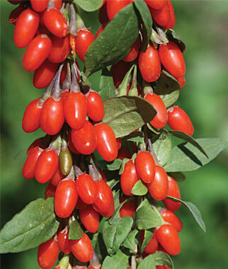 goji berry, sweet lifeberry ppaf  specialty fruits at burpee, Beautiful flower