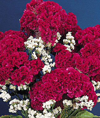 Celosia, Red Velvet Cake, , large
