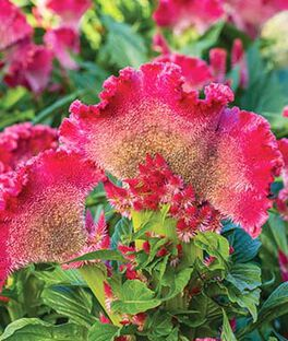 Celosia cristata,  Fan Dance Scarlet , , large