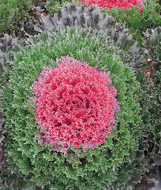 Flowering Kale, Glamour Red, , large