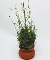 "Lavandula 'Provence' in 4"" Clay Washpot, , large"