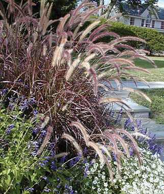 Ornamental Grass, Pennisetum , , large