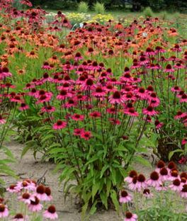 Echinacea, Sensation Pink, , large