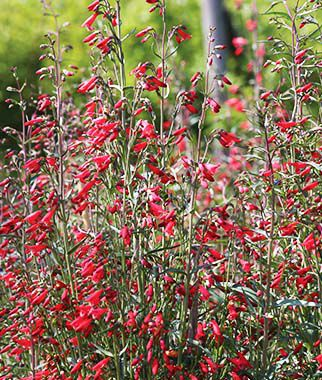 Penstemon barbatus, Twizzle , , large