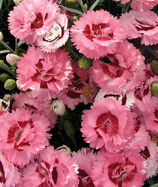 Dianthus, Raspberry Surprise, , large