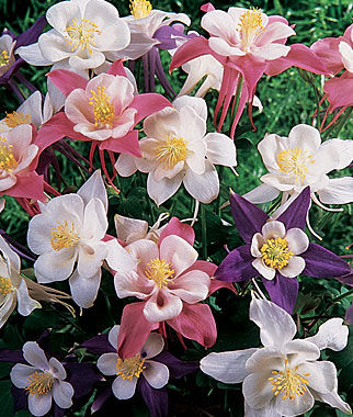Columbine, Songbird Mix, , large