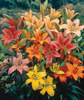 Lilies, Perennial Mixed, , large