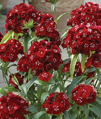 Dianthus, Sweet Black Cherry, , large