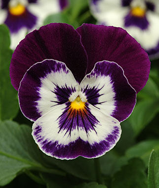Pansy, Panola Purple Face Seeds and Plants, Flowers at Burpee.com