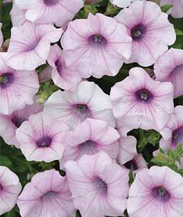 Petunia, Shock Wave™ Pink Vein, , large