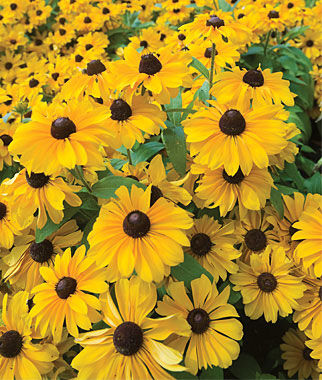 Rudbeckia, Tiger Eye Hybrid 1 Plant, Annuals, Annual Flowers, Annual Flower Plants, Flower Plants, Flowering Annuals, Bedding Plants