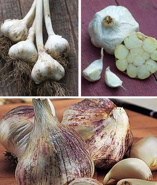 Southern Favorites Fall Garlic Collection, , large