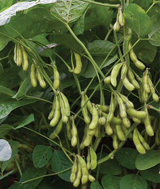 Midori Giant Bean Seeds Vegetable Seeds And Plants At