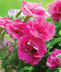 Petunia, Martha Washington, , large