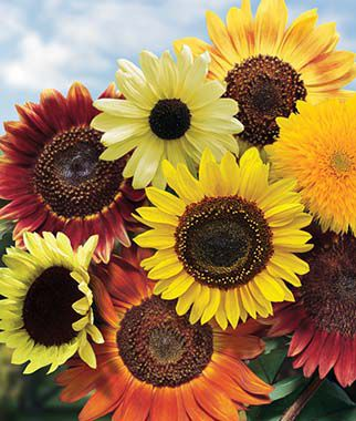 Sunflower, Fun 'N Sun Mix Hybrid, , large